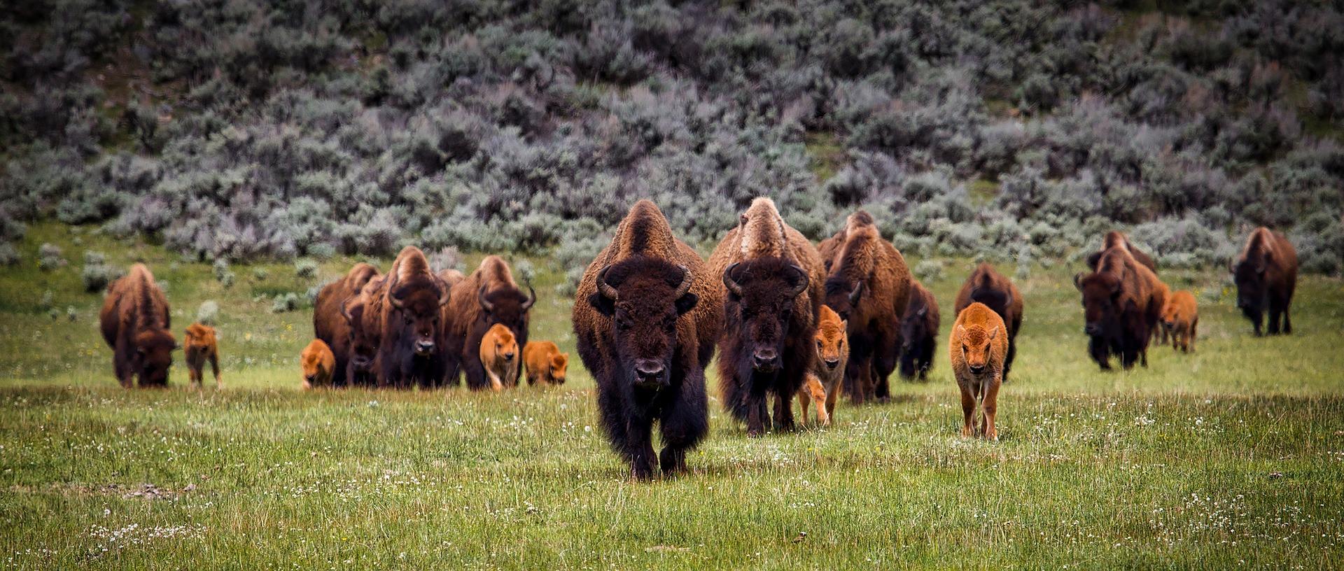 bisonokser