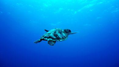 havskildpadde