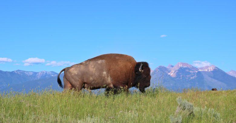 bisonoksen