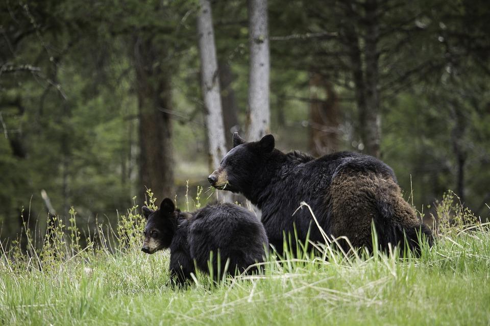 amerikansk sortbjørn