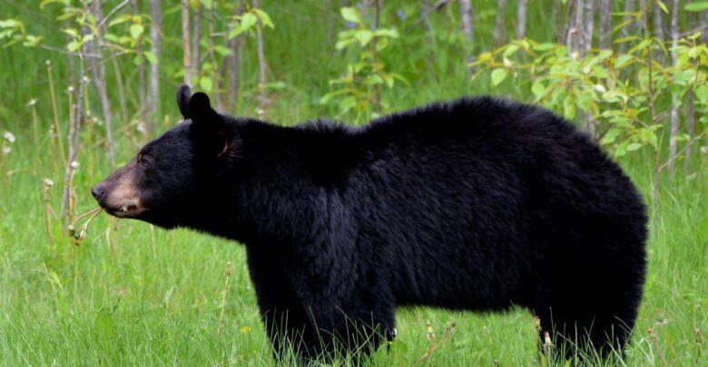 sort bjørn